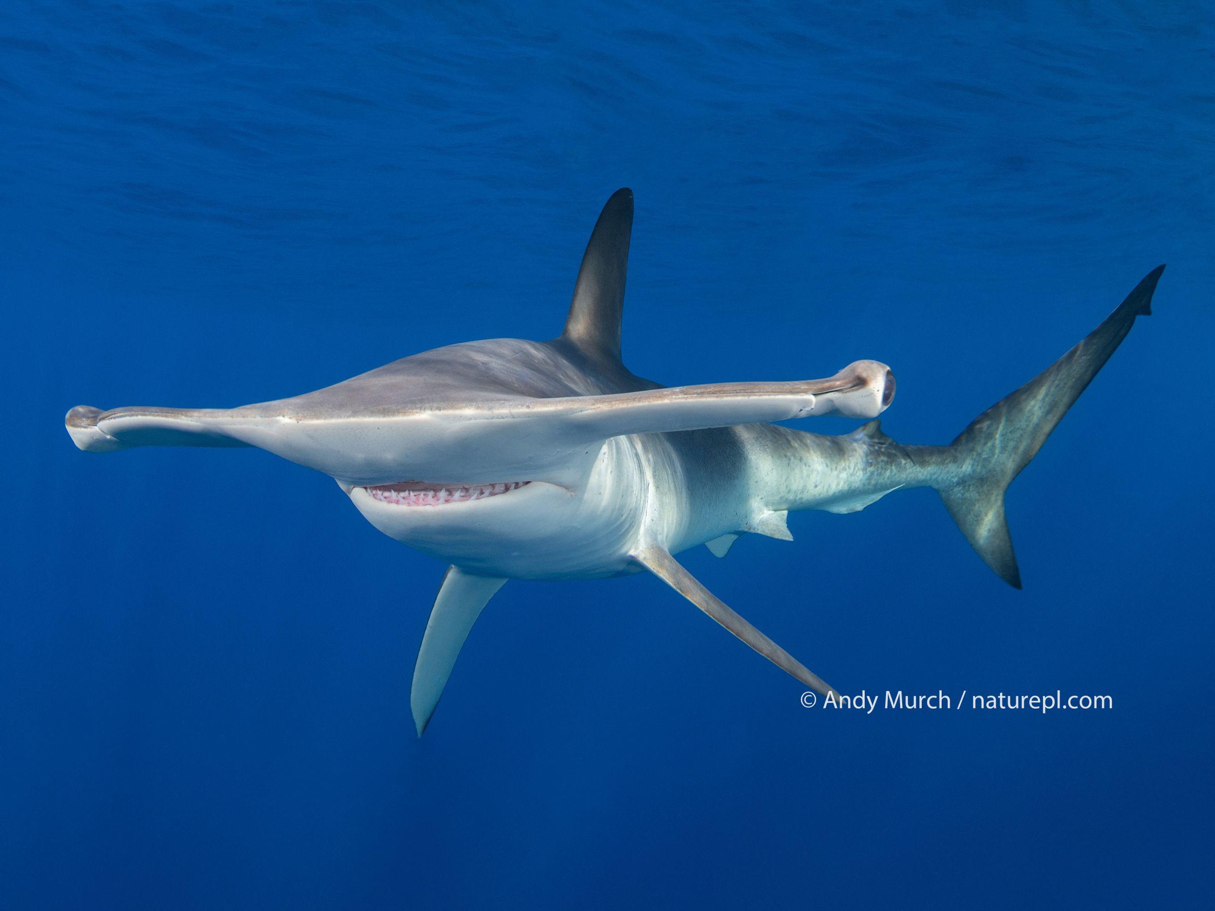 Smooth hammerhead shark (Sphyrna zygaena). Cabo San Lucas, Baja California Sur, Mexico.