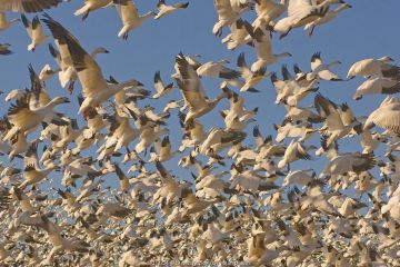 Thousands of Snow geese (Chen caerulescens) taking flight to begin their migration south from their summer nesting grounds in the Arctic, Alaska.
