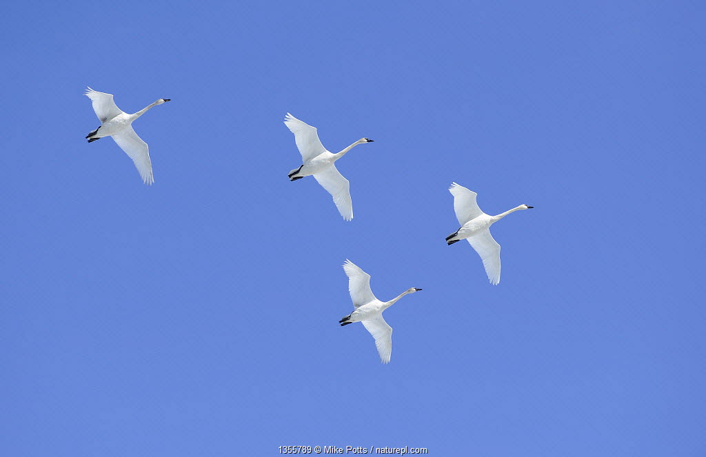 Flock of Trumpeter swans (Cygnus buccinator) in flight over Marsh Lake, preparing to land for resting and feeding during their long flight north to the breeding grounds in Alaska, Marsh Lake, Yukon, Canada, April