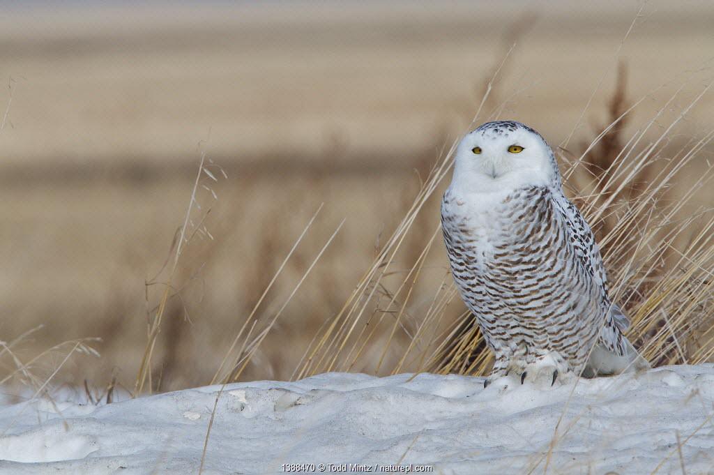 Snowy owl (Bubo scandiaca) female resting on northern migration across Canadian prairie, Saskatchewan, Canada, March