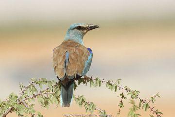 European roller (Coracias garrulus) perched, during spring migration, Oman, May.