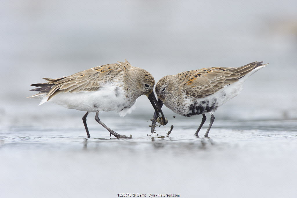 Two adult Dunlin (Calidris alpina) molting into breeding (alternate), competing for a prey item during spring migration. Gray's Harbor County, Washington, USA. April.