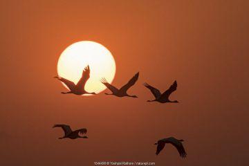 Demoiselle cranes (Anthropoides virgo) flying at sunrise during migration. Khichan, Western Rajasthan, India. December.