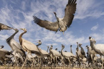 Demoiselle crane (Anthropoides virgo) low angle view of birds flying and landing near the chugga ghar (bird feeding enclosure ) in Khichan Village, durin their annual migration. Western Rajasthan, India. December.