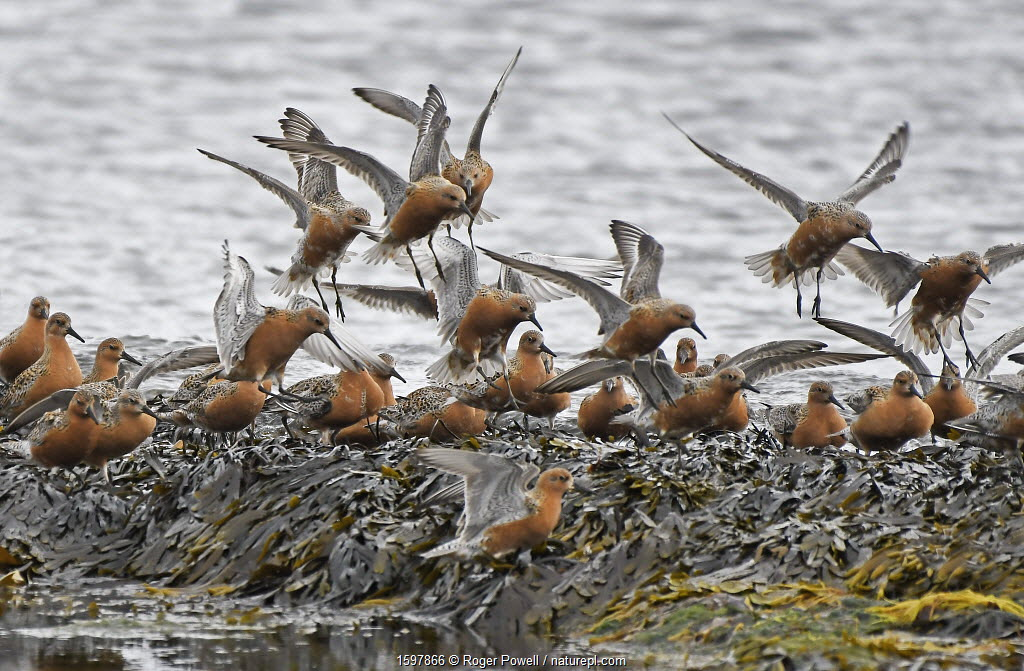 Flock of Red Knot (Calidris canutus) flying in to feed whilst migrating to their breeding grounds farther north. Ekkeroy, Varanger fjord, Finnmark, Norway