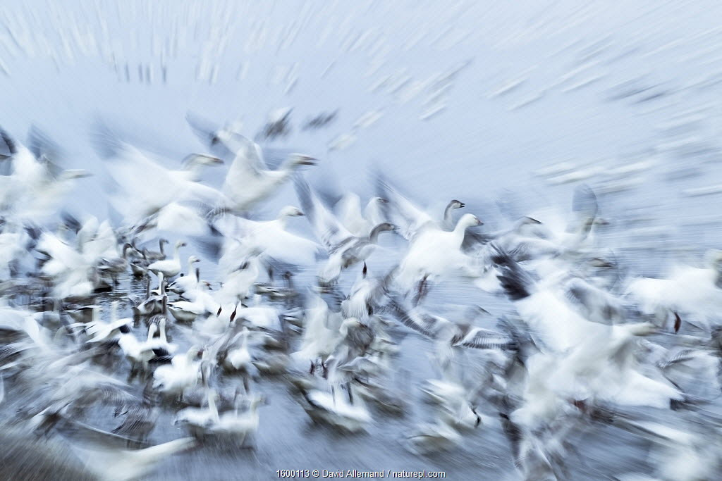 Snow Goose (Anser caerulescens) long exposure of group taking off during migration, Quebec, Canada, October.