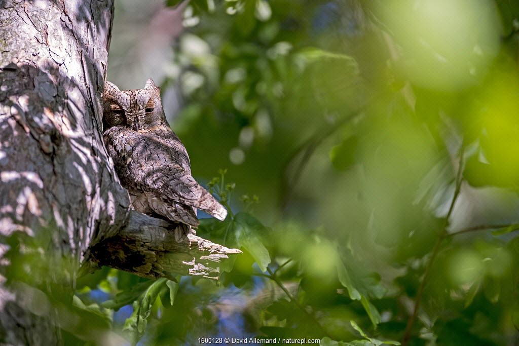 Eurasian scops owls (Otus scops) migrant owl, Alps, South of France, May.