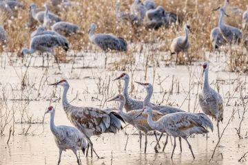 Sandhill crane (Grus canadensis) flock wading and feeding at stopover site during migration. Whitewater Draw, Arizona, USA. November.