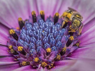 Smeathman's Furrow Bee (Lasioglossum smeathmanellum) collecting pollen and nectar from African Daisy (Osteospermum jucundum). Monmouthshire, Wales, UK, June