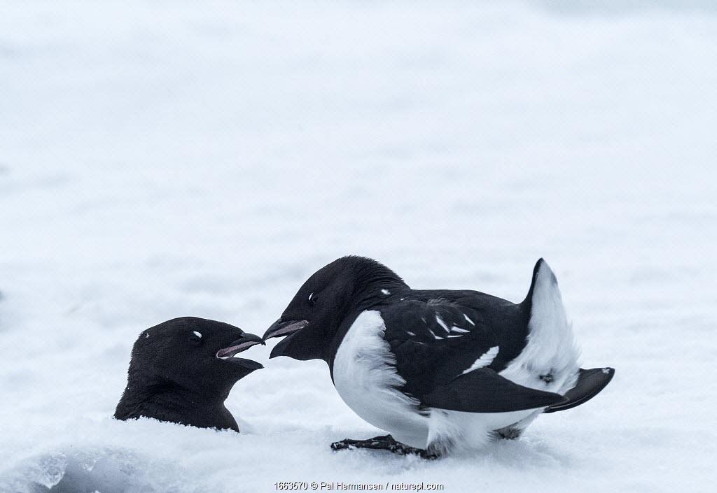 Little auk (Alle alle) pair in courtship after spring migration. Fuglehuken, Prins Karls Forland, Svalbard, Norway. April.
