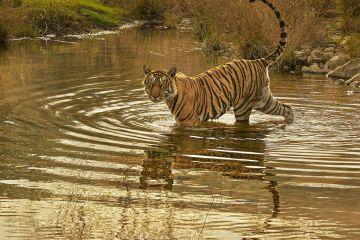 Bengal tiger (Panthera tigris) male 'Jam' crossing river, Ranthambhore, India