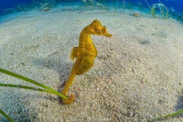 Short-snouted seahorse (Hippocampus hippocampus) male, Ponza Island, Italy, Tyrrhenian Sea, Mediterranean Sea.