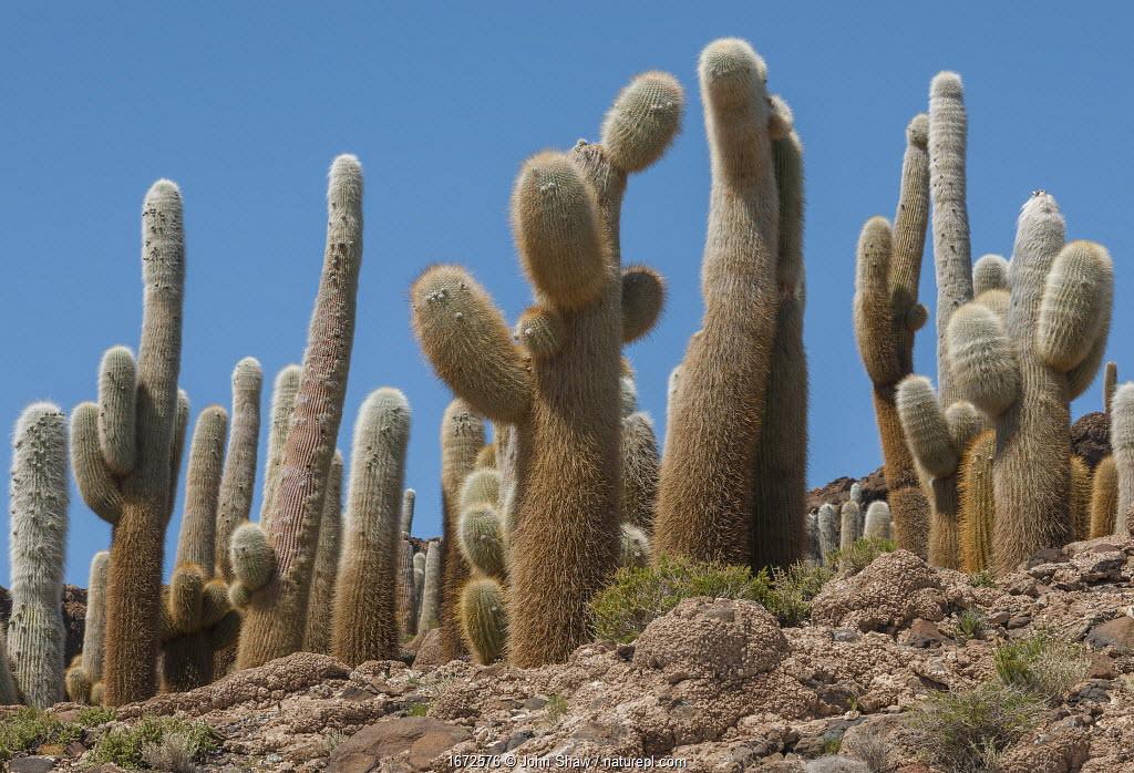 Giant Cordon cacti (Echinopsis atacamensis) on Incahuasi Island in Salar de Uyuni salt flats, Bolivia. March.