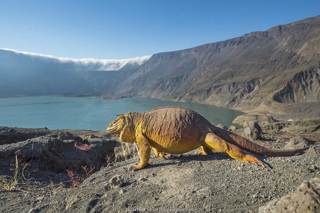 Galapagos land iguana (Conolophus subcristatus) and volcanic landscape, Caldera floor, Volcan La Cumbre, Fernandina Island, Galapagos.