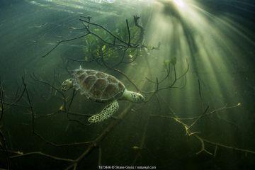 Green sea turtle (Chelonia mydas) hides among mangrove trees, Bahamas.