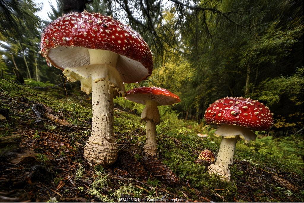 Cluster of Fly agaric mushrooms / fungi (Amanita muscaria) growing in coniferous woodland near Inverness, Scottish Highlands. Scotland, UK, October.
