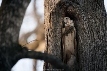 Pair of Japanese dwarf flying squirrels (Pteromys volans orii) nesting in tree hollow. Male in front, female peeking out from behind.