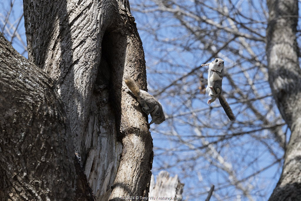 Male Japanese dwarf flying squirrels (Pteromys volans orii) fighting for the right to mate with a female, Hokkaido, Japan. The interloper has been body-slammed off the tree by the resident male.