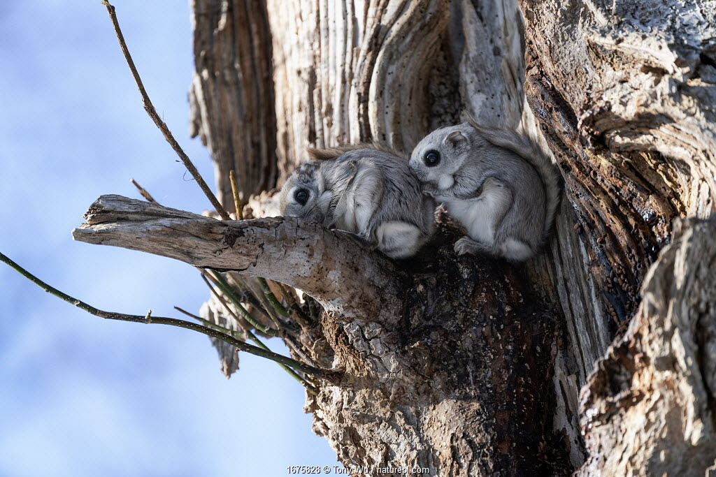Pair of Japanese dwarf flying squirrels (Pteromys volans orii) shortly before mating (the female is in front). Hokkaido, Japan.