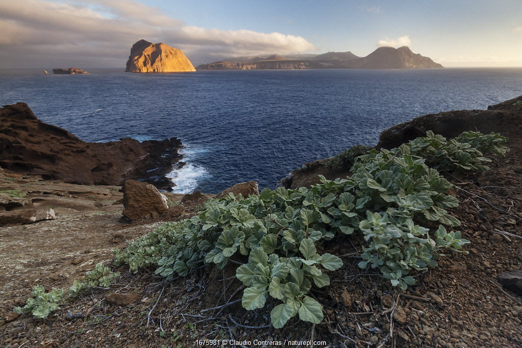 Palmer's globemallow (Sphaeralcea palmeri) and view towards Toro Islet and Guadalupe Island, Guadalupe Island Biosphere Reserve, off the coast of Baja California, Mexico, September