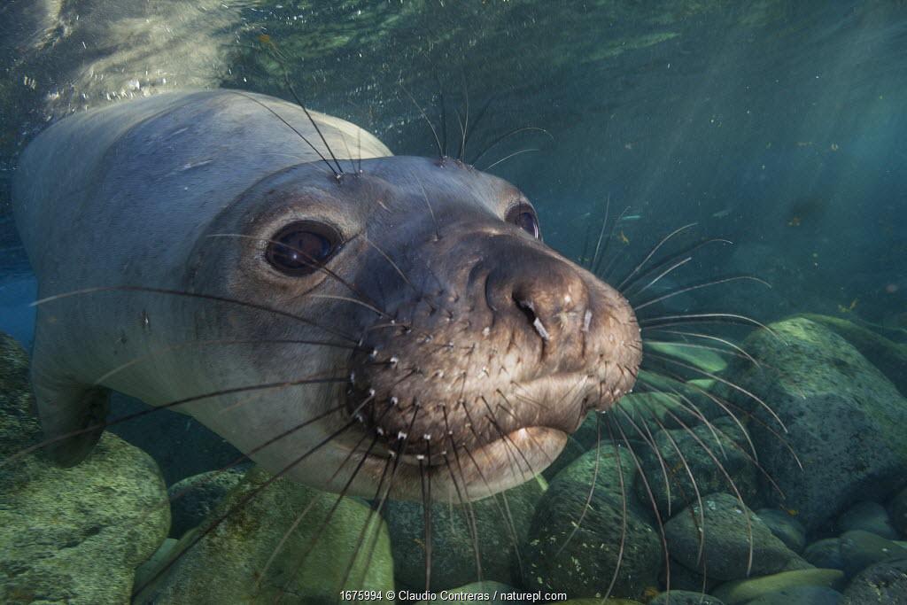 Northern elephant seal (Mirounga angustirostris) juvenile swimming, Guadalupe Island Biosphere Reserve, off the coast of Baja California, Mexico, September