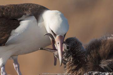 Laysan albatross (Phoebastria immutabilis) feeding chick,Guadalupe Island Biosphere Reserve, off the coast of Baja California, Mexico, April