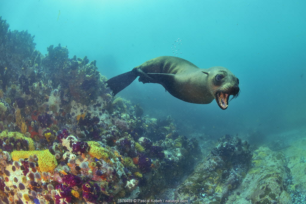 Brown fur seal / Cape fur seal (Arctocephalus pusillus), Western Cape, South Africa. Atlantic Ocean.