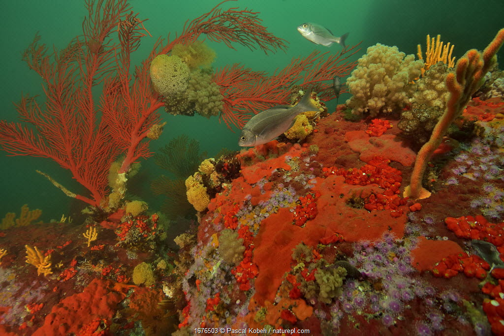 Reef with gorgonian corals / sea fans, soft corals and sponges, Western Cape, South Africa. Atlantic Ocean.