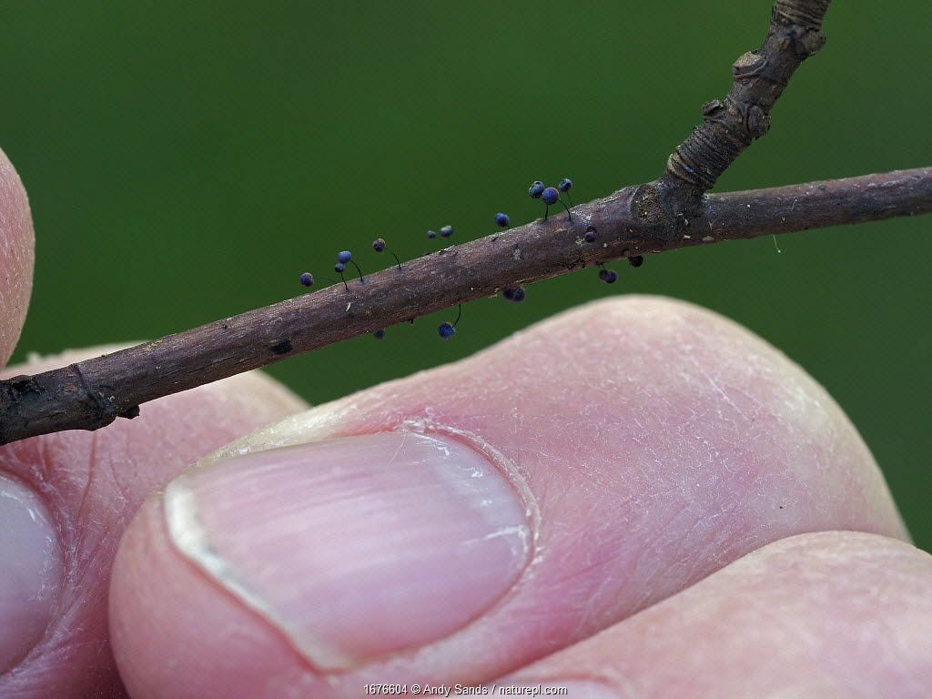 Slime mould (Lamproderma scintillans) growing on tiny twig held in hand to show scale, Buckinghamshire, England, UK, March.