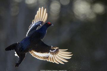 Male Black grouse (Tetrao / Lyrurus tetrix) in flight. Kuusamo, Finland, April.