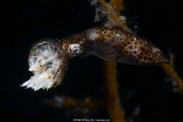 Northern pygmy squid (Idiosepius paradoxus) consuming an amphipod crustacean, Yamaguchi Prefecture, Japan.