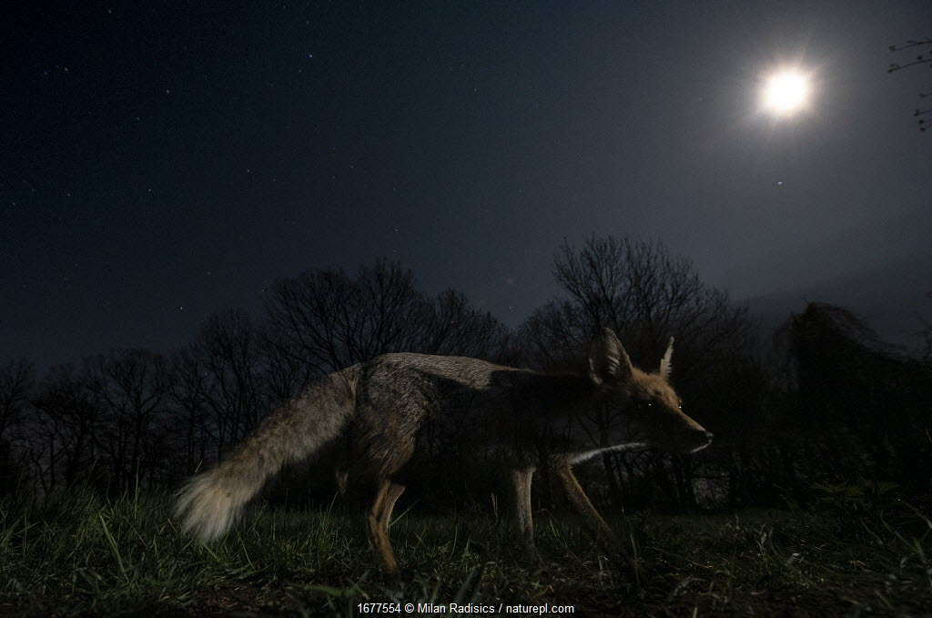 Red fox (Vulpes vulpes) female under a starry spring sky with full moon, Hungary.