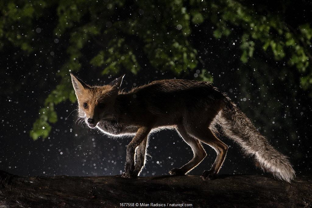 Red fox (Vulpes vulpes) female visiting garden on a rainy spring night, Hungary.