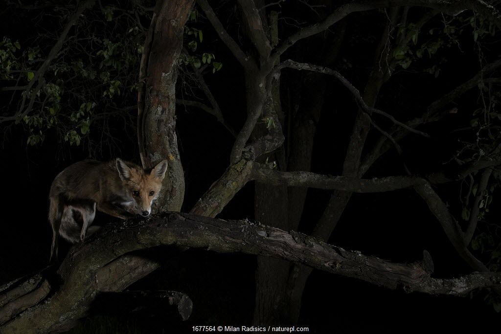 Red fox (Vulpes vulpes) female climbing a quince tree in garden, Hungary.