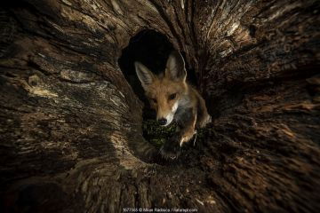 Red fox (Vulpes vulpes) female peering into hollow log, Hungary. Image captured using a motion sensor.