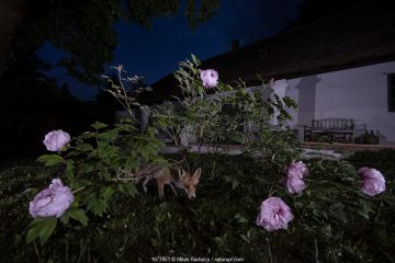 Red fox (Vulpes vulpes) at the base of a peony bush in a cottage garden, Vertes Mountains, Hungary.