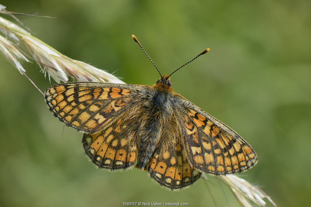 Marsh fritillary butterfly (Euphydryas aurinia) sunning on grass flowers in a chalk grassland meadow, Wiltshire, UK, May.