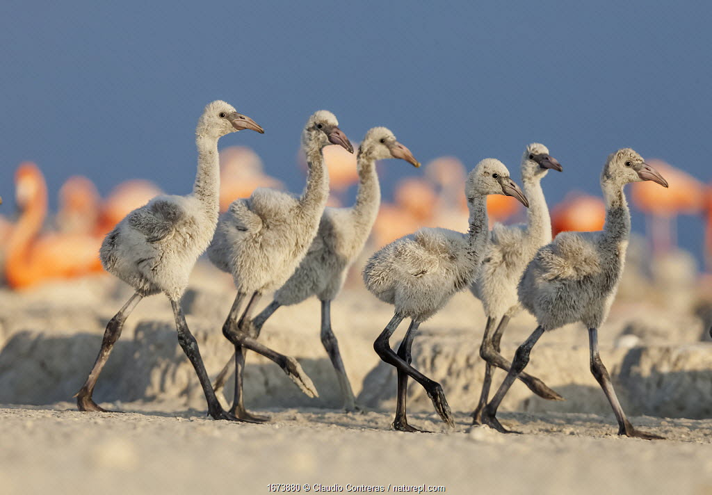 Caribbean flamingo (Phoenicopterus ruber) chicks walking in the breeding colony, Ria Lagartos Biosphere Reserve, Yucatan Peninsula, Mexico, June