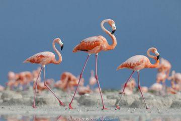 Caribbean flamingos (Phoenicopterus ruber) three adults walking in breeding colony, Ria Lagartos Biosphere Reserve, Yucatan Peninsula, Mexico, June