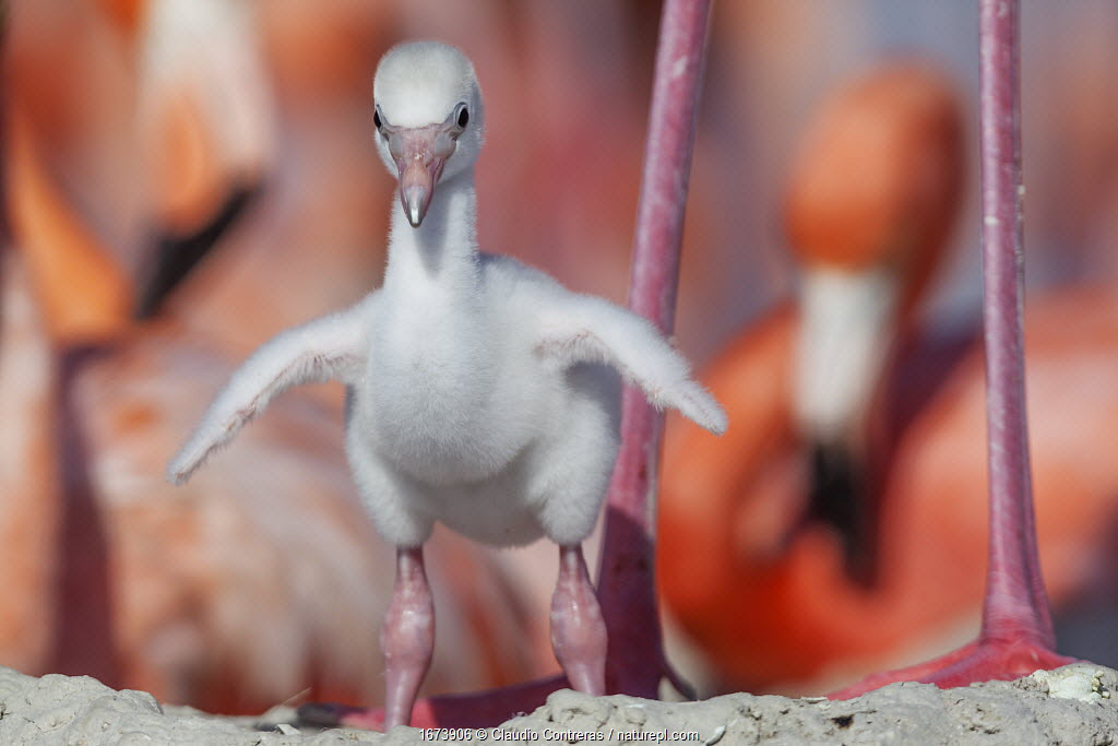 Caribbean flamingo (Phoenicopterus ruber) chick stretching wings on nest in breeding colony, Ria Lagartos Biosphere Reserve, Yucatan Peninsula, Mexico, June