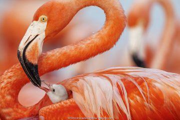 Caribbean flamingo (Phoenicopterus ruber) feeding crop milk to chick, Ria Lagartos Biosphere Reserve, Yucatan Peninsula, Mexico, June