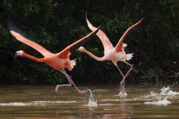 Caribbean flamingos (Phoenicopterus ruber) two taking off, Ria Celestun Biosphere Reserve, Yucatan Peninsula, Mexico, January
