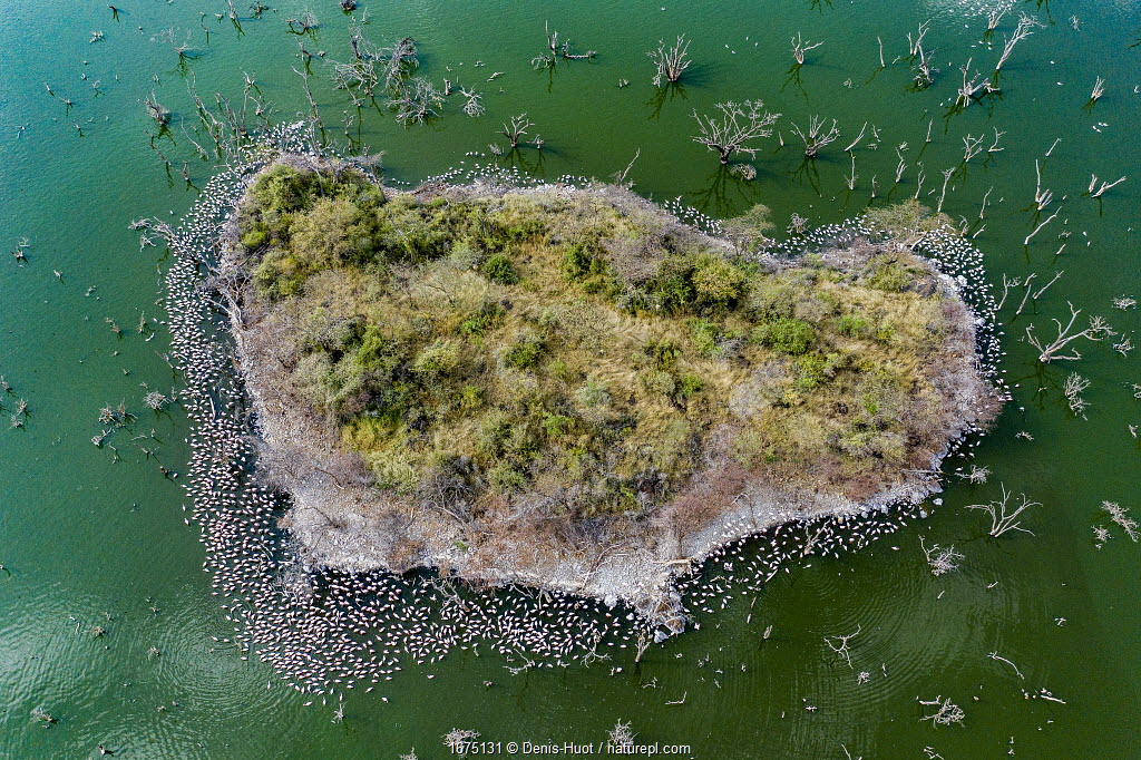 Aerial view of Lesser flamingo (Phoeniconaias minor), flock near island lake, Lake Bogoria, Kenya