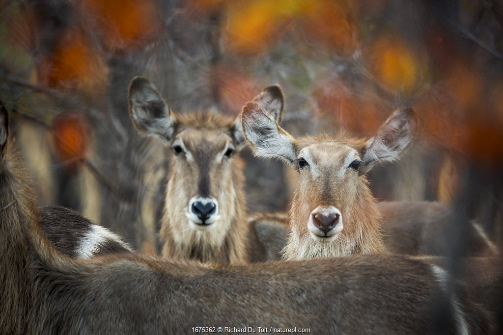 Waterbuck (Kobus ellipsiprymnus) Kruger National Park, Limpopo Province, South Africa.