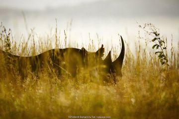 Black rhino (Diceros bicornis) KwaZulu-Natal Province, South Africa.