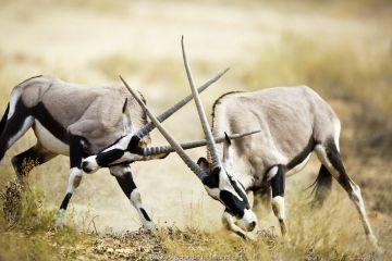 Gemsbok (Oryx gazella) fighting, Northern Cape Province, South Africa.