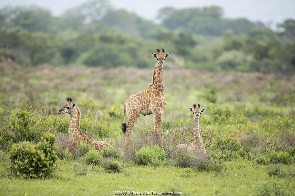 Giraffe (Giraffa camelopardalis) calves, Isimangaliso Wetland Park, KwaZulu-Natal, South Africa.