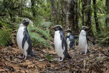 Fiordland penguins (Eudyptes pachyrhynchus) walk along a forest path, heading back to their burrows, after foraging in the ocean. North of Haast, Westland District, South Island, New Zealand.
