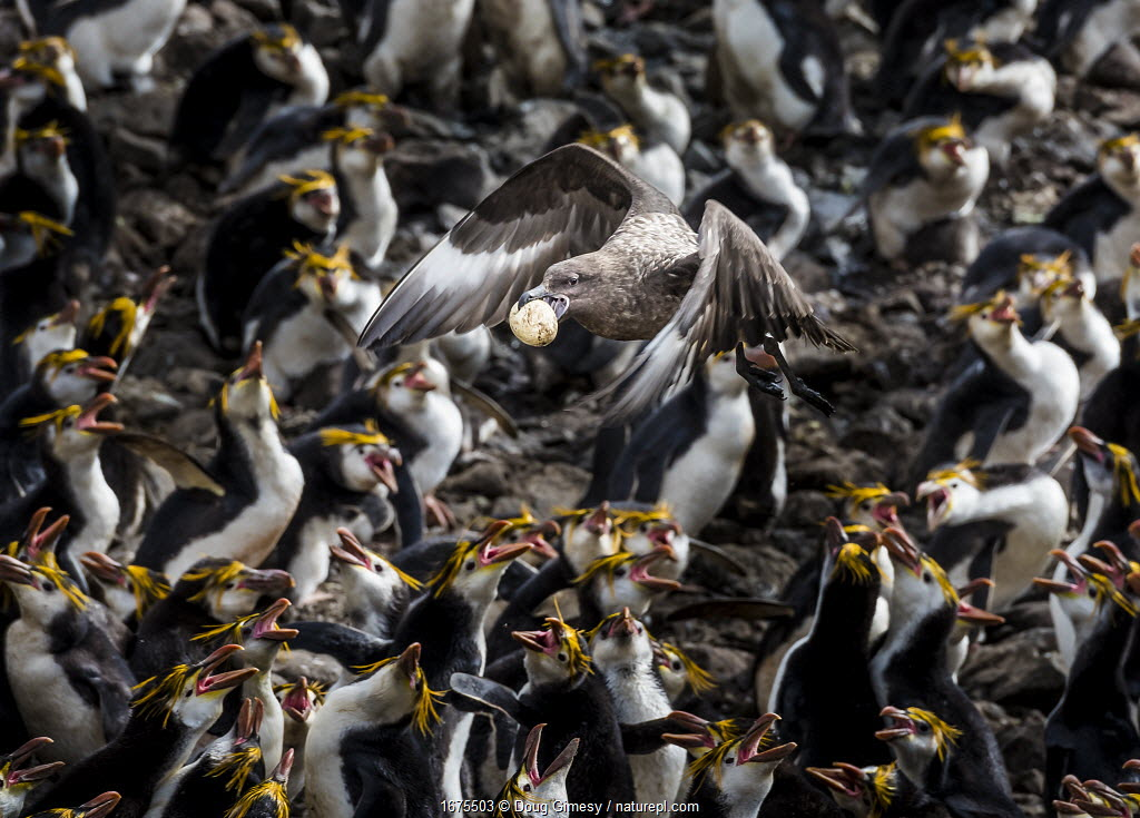 Subantarctic or Brown skua (Stercorarius antarcticus) stealing an egg from a Royal penguin colony (Eudyptes schlegeli) on Macquarie Island, Australian Territory