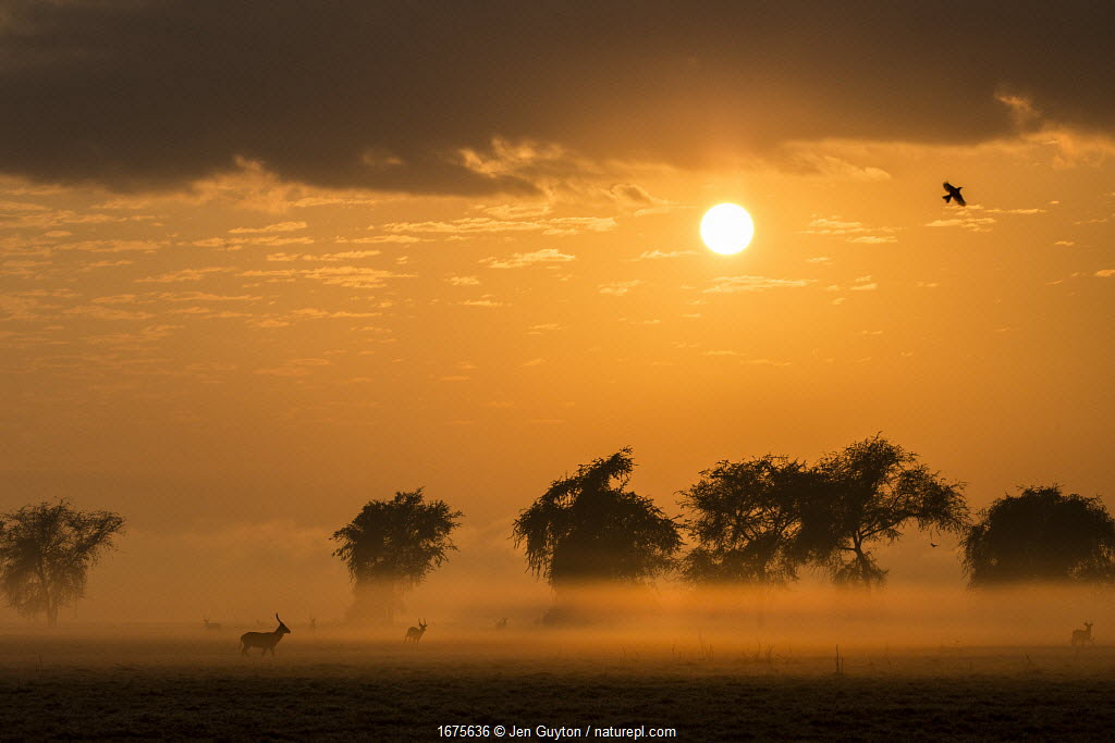 Male Waterbuck at sunrise on the floodplain of Gorongosa National Park, Mozambique. The sun's rays filter through smoke from widespread bush fires. The fires are important to keep the savanna from becoming woodland. They also encourage new growth of grasses.
